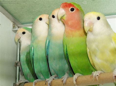 on the photo you can see a group of peach face lovebirds