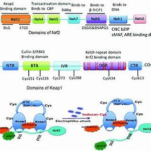 Schematic illustration of Nrf2 and Keap1 proteins and ...