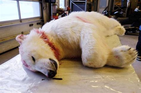 Man Attacked By Polar Bear As He Camped Out To Watch The