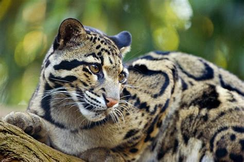 cat trees for large cats endangered clouded leopard neofelis nebulosa by jim