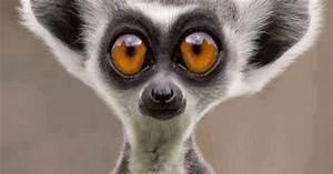 Funny lemur. De... Cute Lemur Quotes