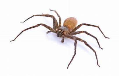 Spiders Spider Brown Recluse Violin Iceland Fiddleback