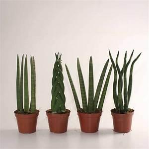 Zimmerpflanzen Für Dunkle Ecken : sansevieria cylindrica bogenhanf pflanzen f r dunkle ~ Michelbontemps.com Haus und Dekorationen