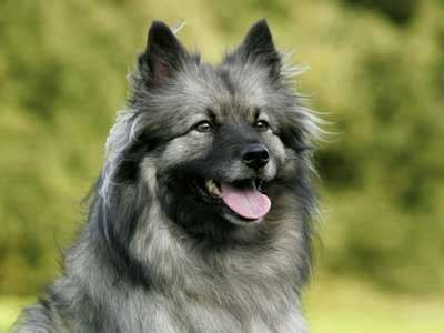 keeshond information characteristics facts names