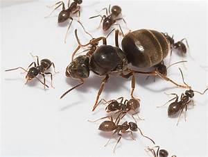 Ameisen Im Winter Finden : rote oder rote ameisen in der wohnung was tun mit ihnen ~ Lizthompson.info Haus und Dekorationen