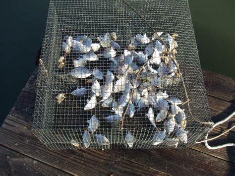 pinfish trap fishing