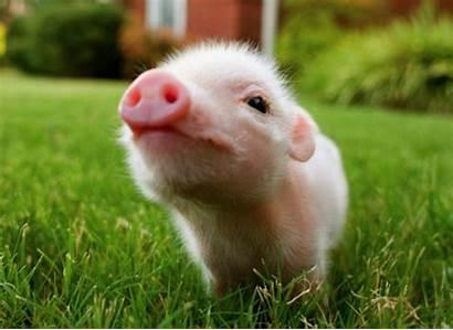 Pig Pigs Wallpapers Animals Backgrounds Desktop Exploited