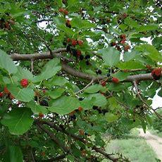 Best 25+ Mulberry Tree Ideas On Pinterest  Mulberry Fruit