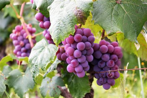 28 Interesting And Fascinating Facts About Grapes Tons