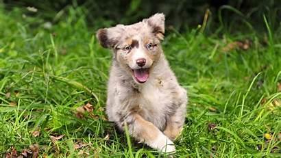 Australian Dogs Dog Shepherd Puppies Shepherds Cool
