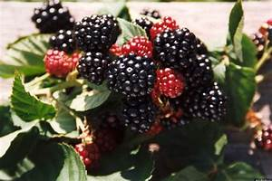 Blackberry Facts  10 Things You May Not Know About The Fruit
