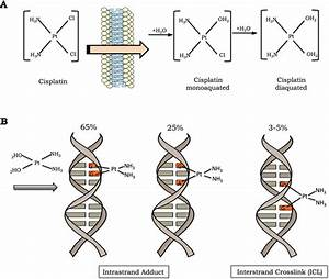 Cisplatin Activation And Dna Damage Induction  A  The