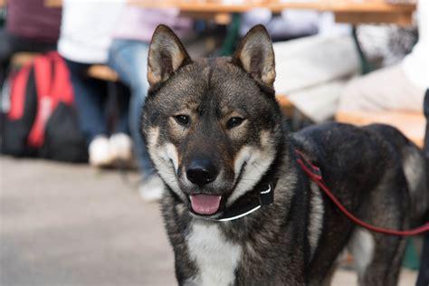 Shikoku Inu Japanese Dog Breeds Images