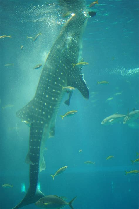 1000 images about whale shark on