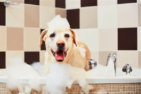 How Often To Shower Puppy by Wondering How Often To Bathe A It Depends On These