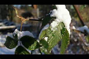 Hibiskus Wann Zurückschneiden : weinpflanzen schneiden anleitung ~ Lizthompson.info Haus und Dekorationen
