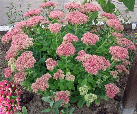 common perennial flowers sedum slnečn 233 miesta slope garden pinterest unusual flowers early fall and late summer