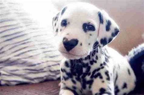 Dalmatian Puppy with Heart Nose