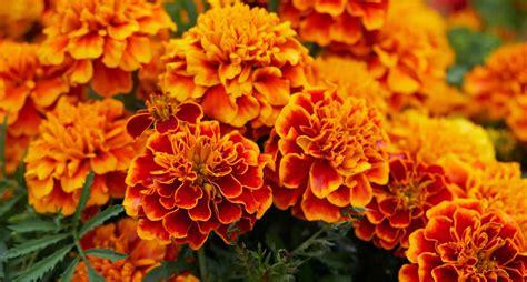do marigolds keep bugs away marigold mosquito repellent garden inspiration