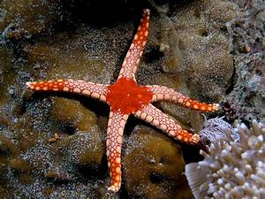 Red Tile Sea Star/Red Marble Starfish (Fromia Monilis ...