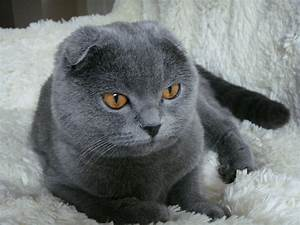 Breeding Your Scottish Fold and Handling A Pregnancy ...