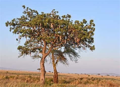Kigelia Aka Sausage Tree In Dry Savanna Landscape
