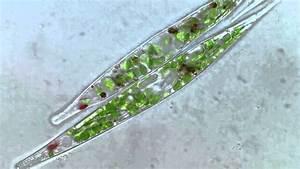 Euglena Acus 2 - Bf Microscope 1250x