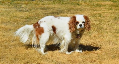 Do Spaniels Shed by Managing Cavalier King Charles Spaniel Shedding Canna Pet 174