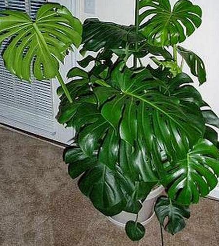 merawat tanaman hias indoormediatani mediatani