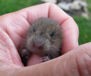 baby vole | Thought he was a Baby shrew but turns out he ...