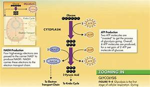 What Stage Is Atp Produced In Cellular Respiration