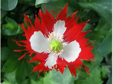 Most Unusual Poppy Varieties For Whimsical Garden