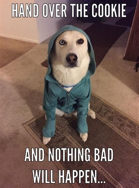 Funny Husky Memes - newest funny husky meme pictures to pin on pinterest pinsdaddy