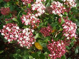Laurier Tin : viburnum tinus 39 guenliane 39 laurier tin rose arbuste ~ Mglfilm.com Idées de Décoration
