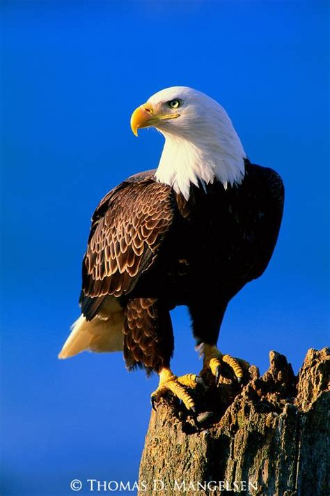 pictures  eagles  print  lookout bald eagle