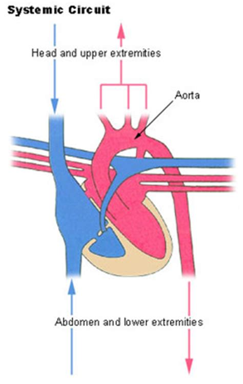 circulatory pathways seer training