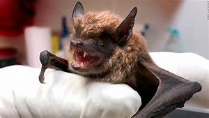 Most Rabies Infections In The United States Come From Bats  Cdc Says