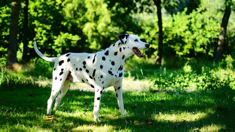 How Much Do Dalmatian Puppies Cost Howmuchisit Org