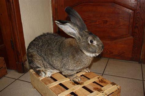 cuisine geant un lapin géant des flandres à vendre la haute loire