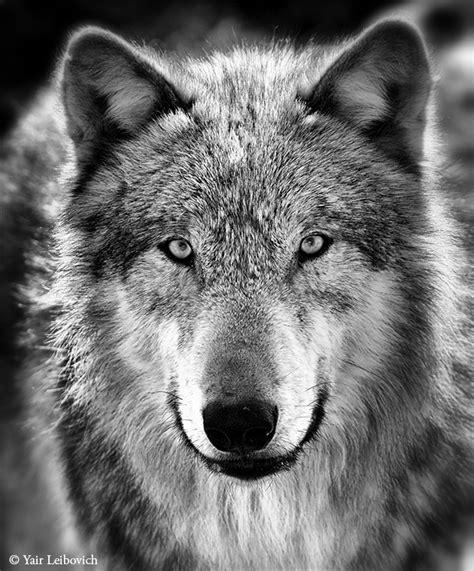 Gray Wolf Bw By Yair Leibovich On Deviantart