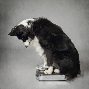 alimentazione per cani casalinga dieta casalinga soluzioni per cani in sovrappeso