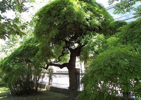 Bäume Für Japanischen Garten by Schattenbaum Sophora Japonica Japanischer Schnurbaum Alter