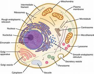 What Is Cytosol  How Is It Different From Cytoplasm