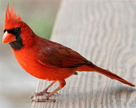 the cardinal bird usa beauty of bird