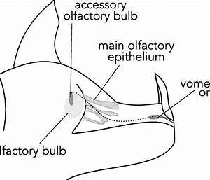 Schematic Of A Sagittal Interior View Of A Bat Nose