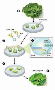 Gene Editing Without Foreign Dna