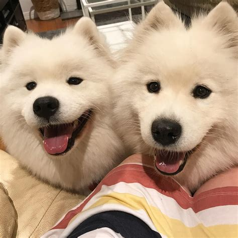 Pin By Nicole On Samoyed Puppies Cute Dogs Smiling Dogs