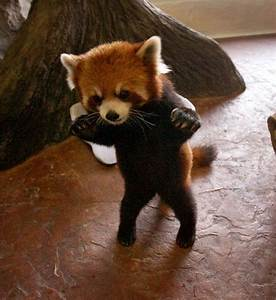 baby red panda on Tumblr