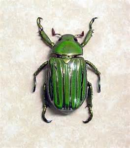 Metallic Green Beetles Insects