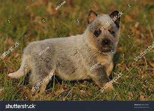 stock photo australian cattle dog puppy aged four weeks
